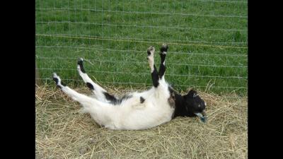 Fainting goats: Reflecting on some odd animal reflexes