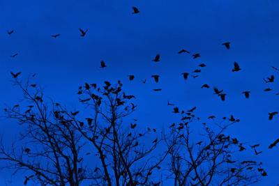 PETA opposes shooting of crows