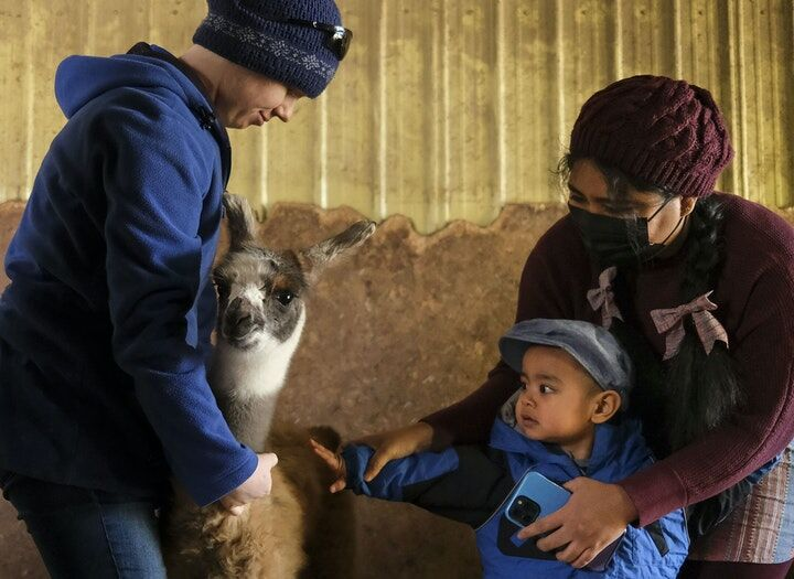 Minnesotans are hugging llamas as a pandemic pick-me-up