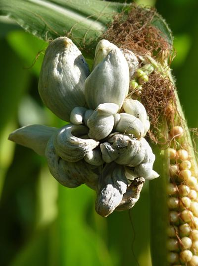 Corn smut: A blessing or a curse?
