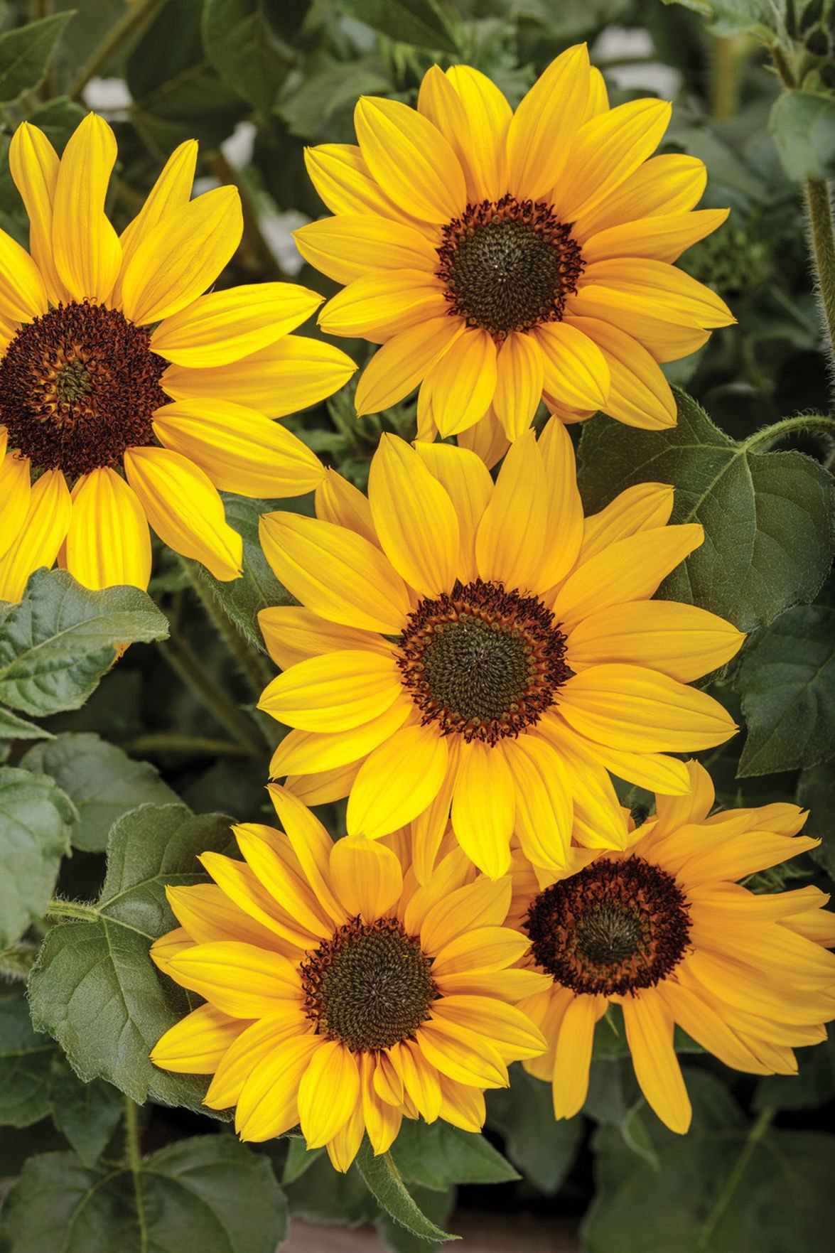 Suncredible Yellow An Ever Blooming Bush Sunflower Agriculture Nny360 Com