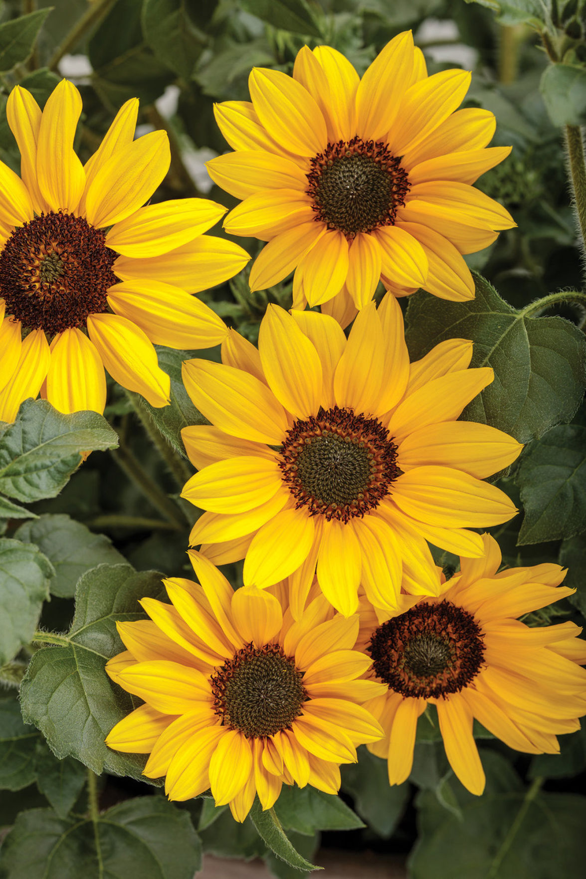 Suncredible Yellow an ever-blooming bush sunflower
