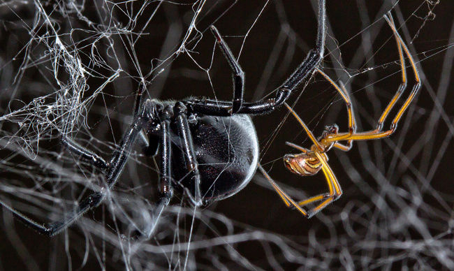 How does the male black widow find a mate?