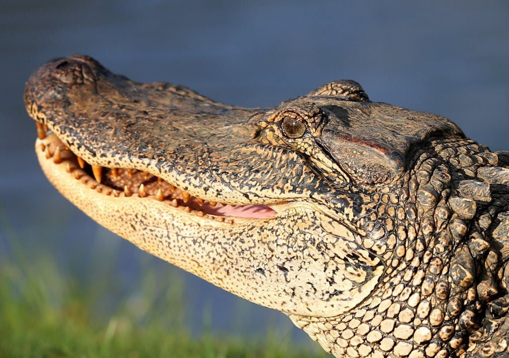 How to cook and eat alligator: Cuts, tips and technique