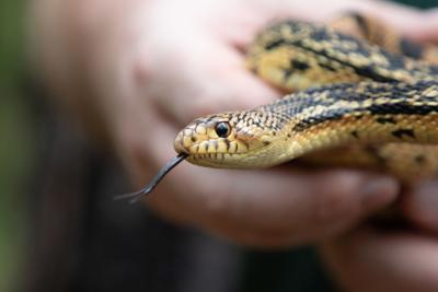 Audubon Louisiana pine snakes close.jpg