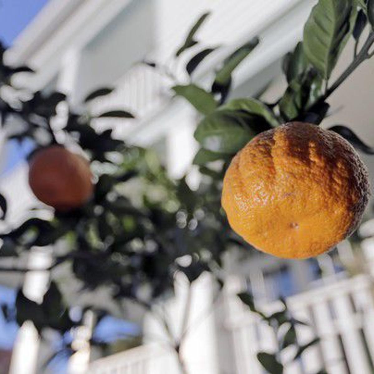 New Orleans is getting 300 public fruit trees for its