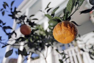 New Orleans is getting 300 public fruit trees for its birthday