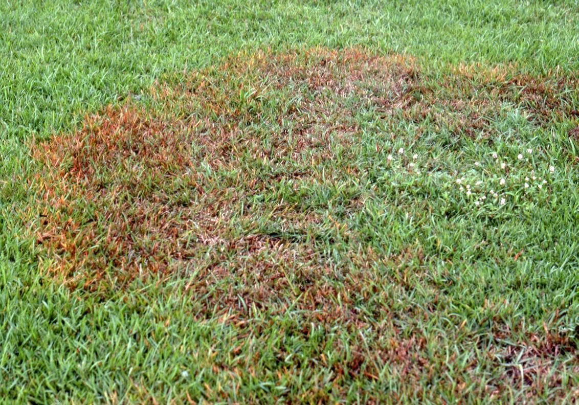 How To Treat Fungus Causing Brown Patches In Lawns Dan Gill S Mailbag Home Garden Nola Com