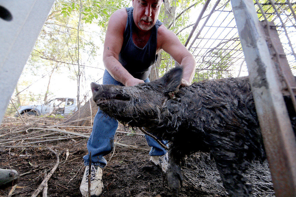 'Trapper John' recounts decades of snaring feral hogs, nuisance wildlife in newspaper interview