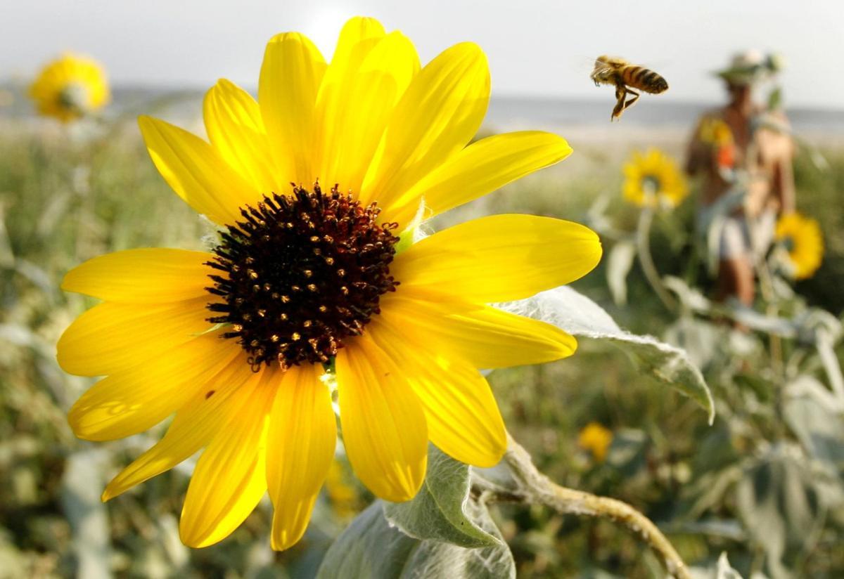 wb_sunflowers1.jpg
