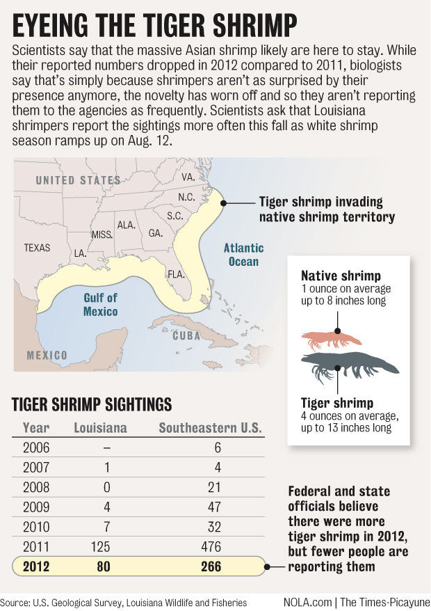 Massive tiger shrimp invaders likely have settled in Louisiana to stay