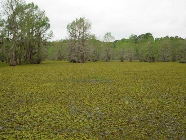 Freezing temps tamp down invasive aquatic plant that's been overtaking Louisiana lakes