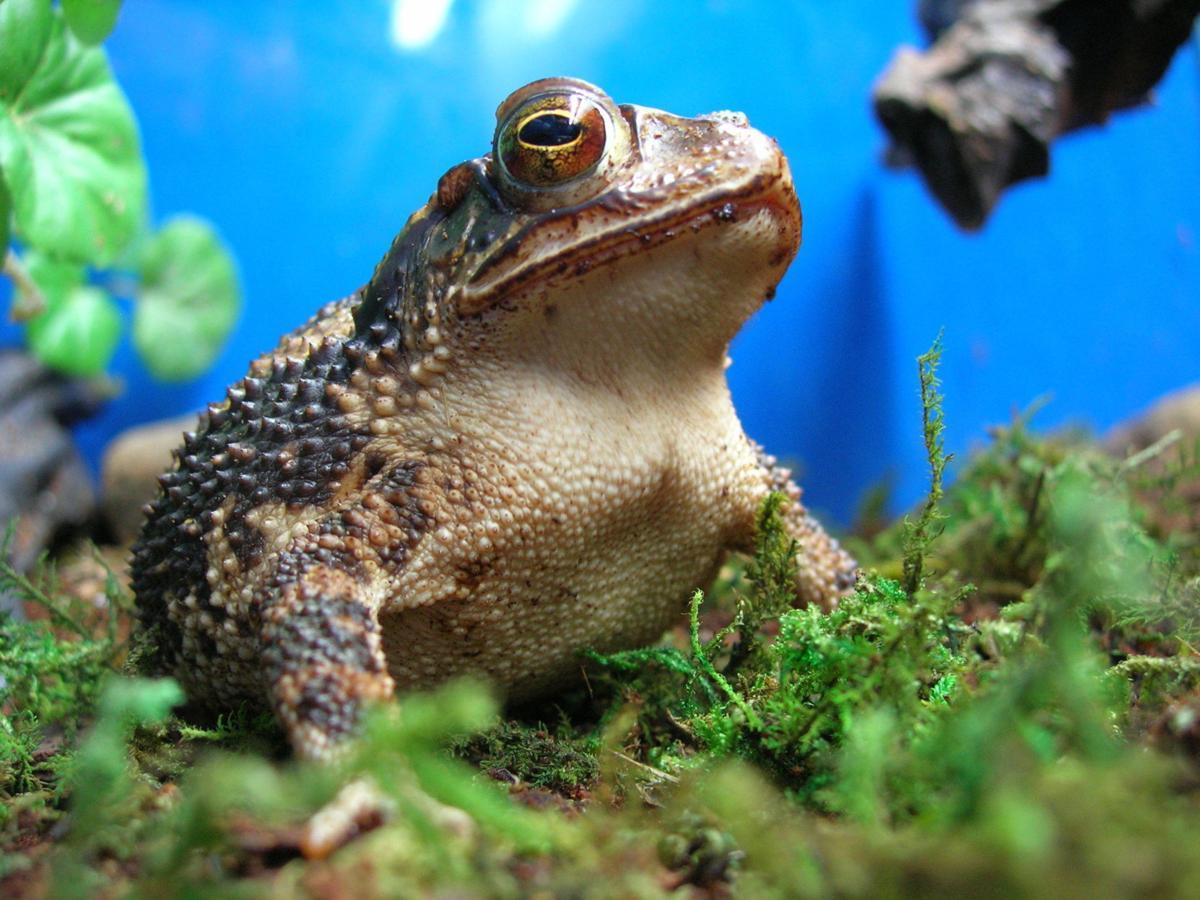 gulf coast toad3.JPG