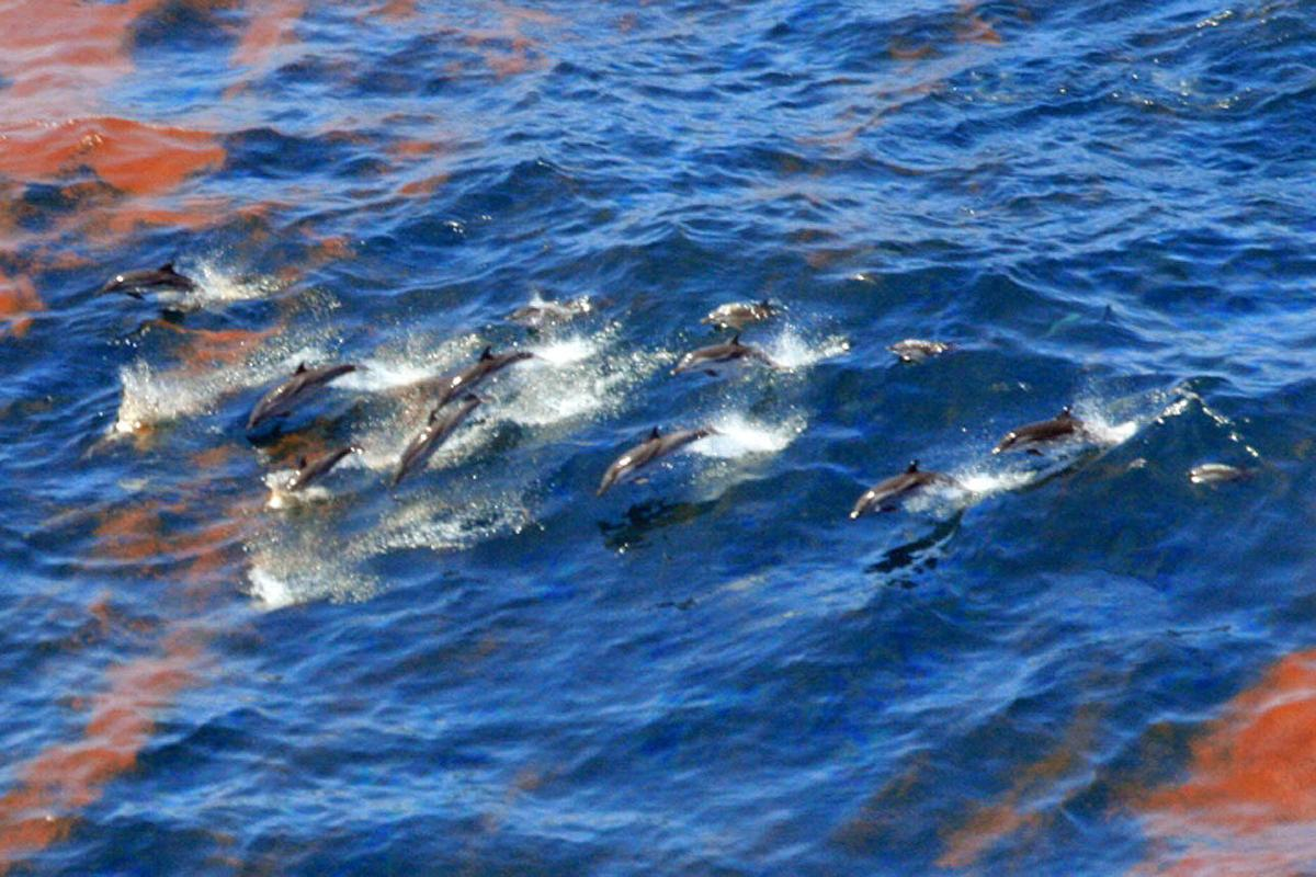 BP oil spill contributed to dead dolphins, scientists say, citing tissue samples