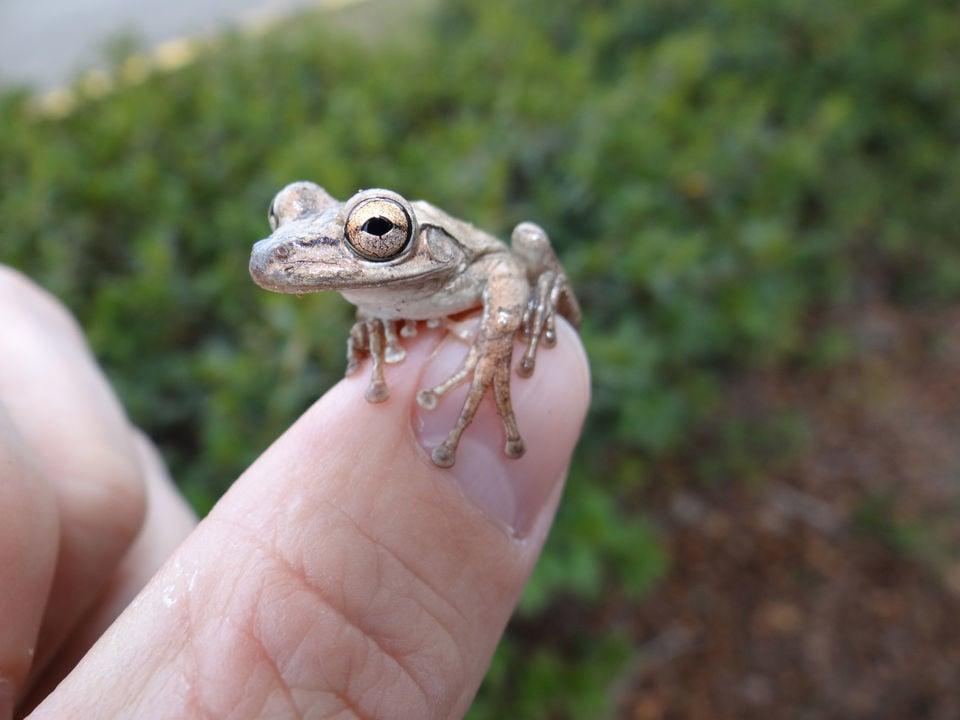 Poisonous Cuban treefrog invades Audubon Park, Zoo | Environment