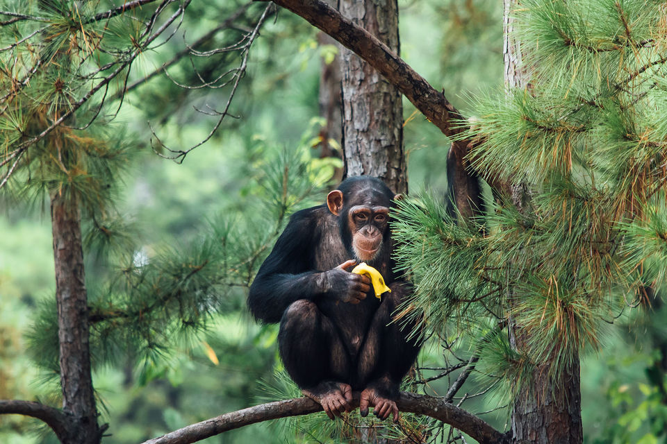 Chimp refuge in north Louisiana to open to the public 4 times in 2019