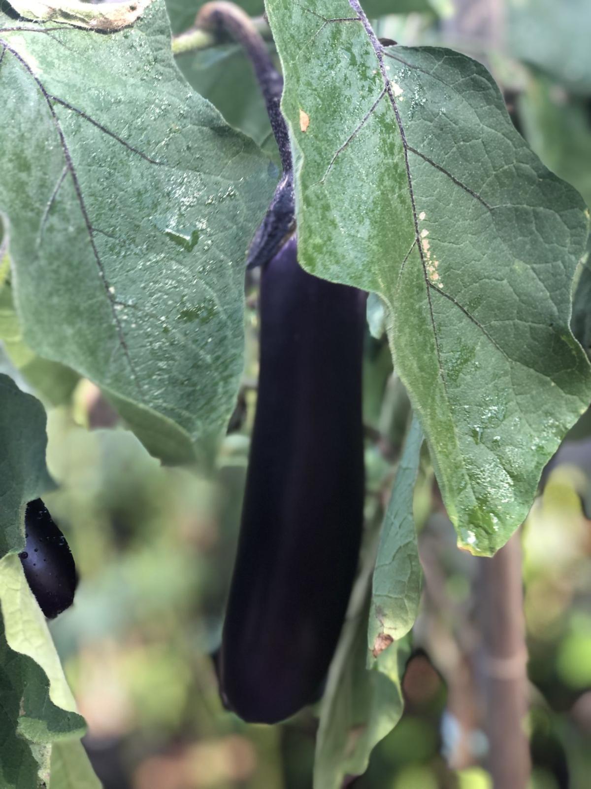 Arleen Bennett -eggplant.jpg