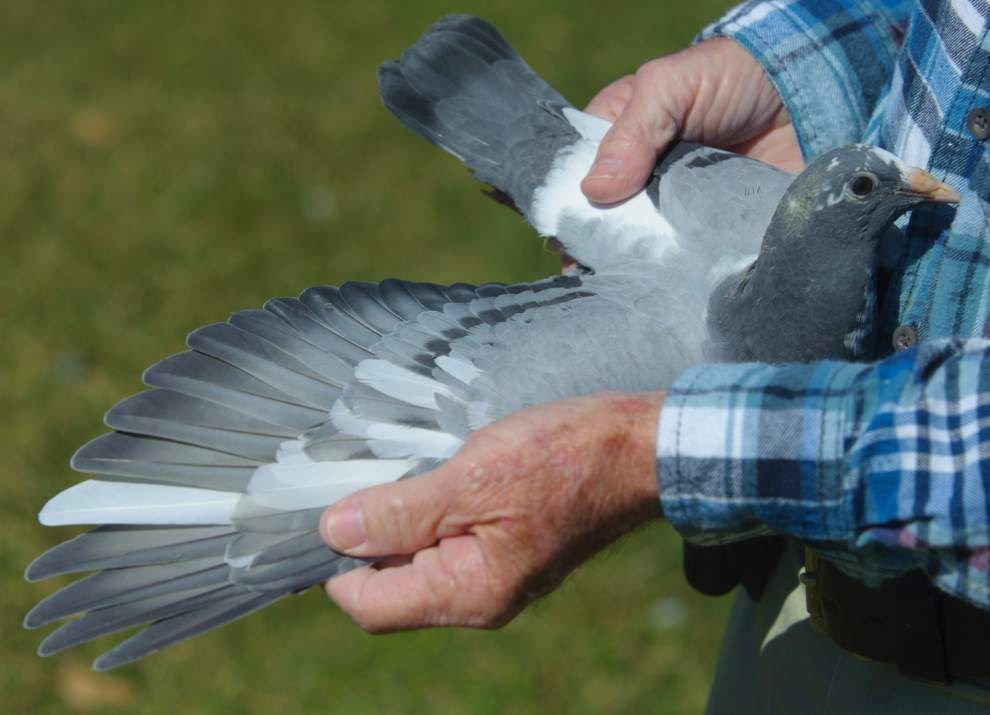 Many happy returns: Pigeon racers count on their birds to