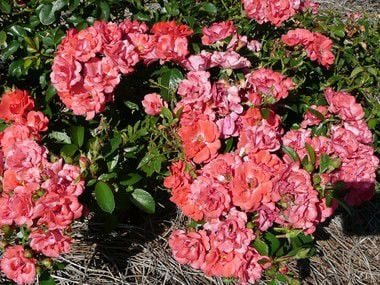 Drift roses are low-maintenance, disease resistant and produce an abundance of flowers