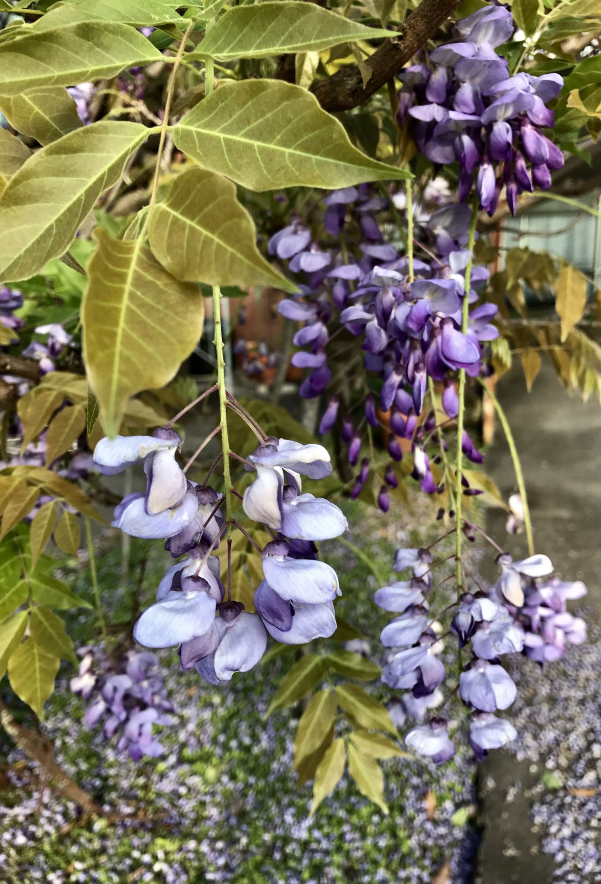 Some Call It A Nuisance But Chinese Wisteria Wins Hearts When It