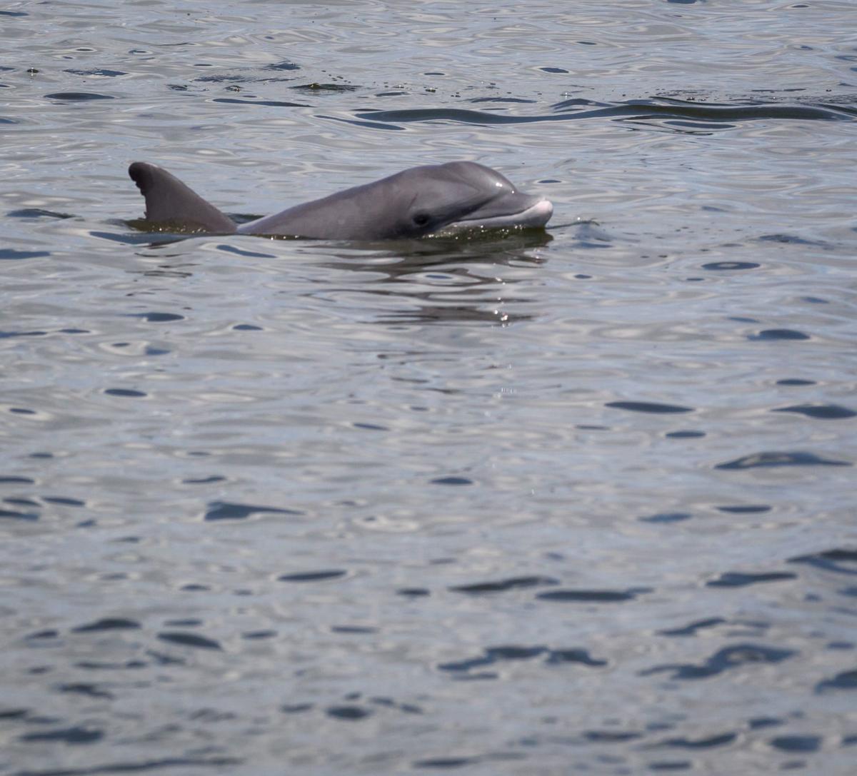 Dolphin near Chenier Ronquille Island
