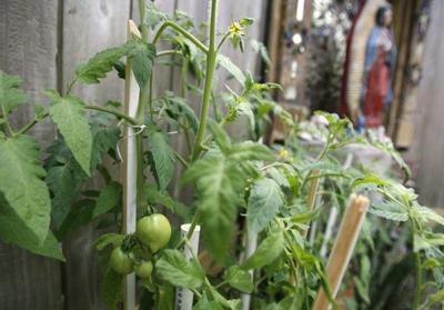 Tomato-growing tips: what type to plant, when and how to plant them