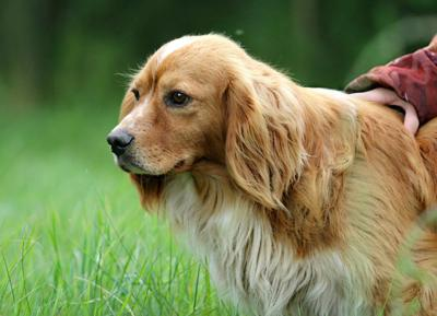 Ask the vet- How to spot an ear infection in your pet and what to do then (copy)