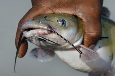 Catfish from the Mississippi River