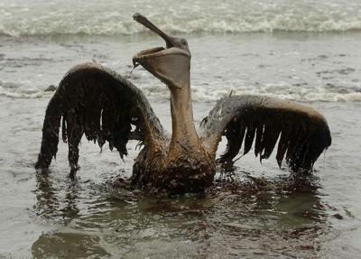 Oiled pelican