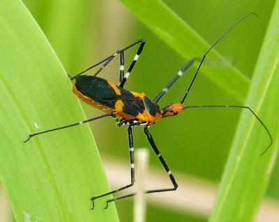 milkweed assassin bugs
