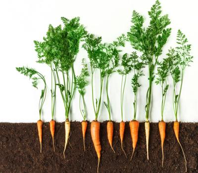 Carrot. Growing plant isolated on white background (copy)