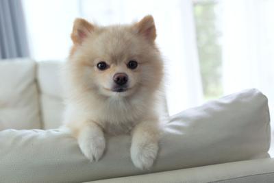pomeranian dog cute pet happy smile in home