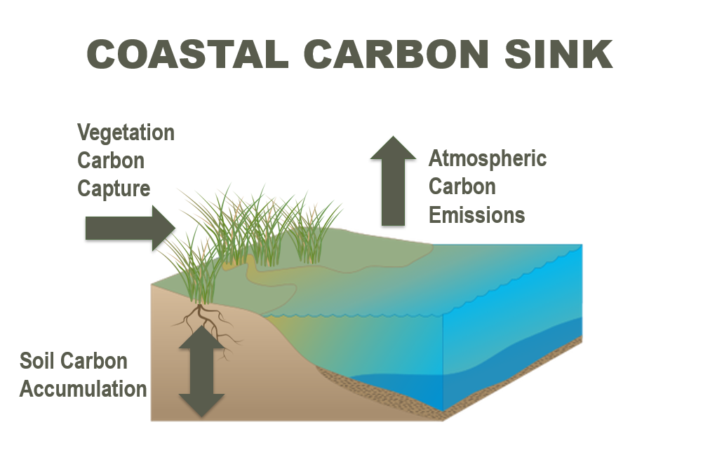 coastal carbon sink graphic.PNG