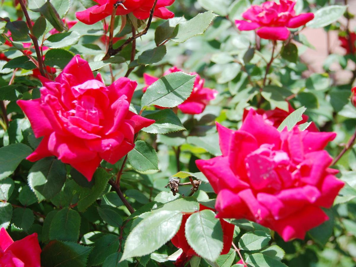 There S A Simple Solution For Knock Out Roses With Spotting Home Garden Nola Com
