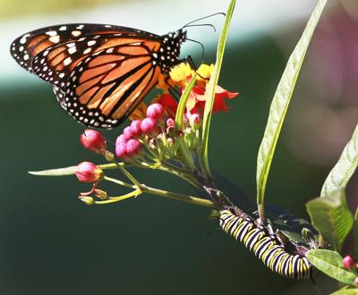 Plant for the butterflies and other garden tips for early May