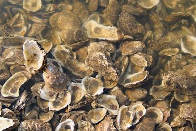 oyster shells file photo