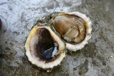Several men caught harvesting polluted oysters in Lake Borgne