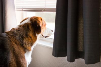 A curious Beagle mix hound looks out the window.  Close up side view.