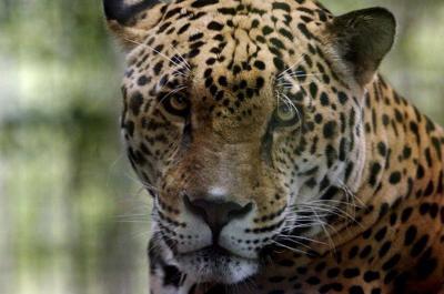 Jaguar escapes habitat at Audubon Zoo, kills 6 animals