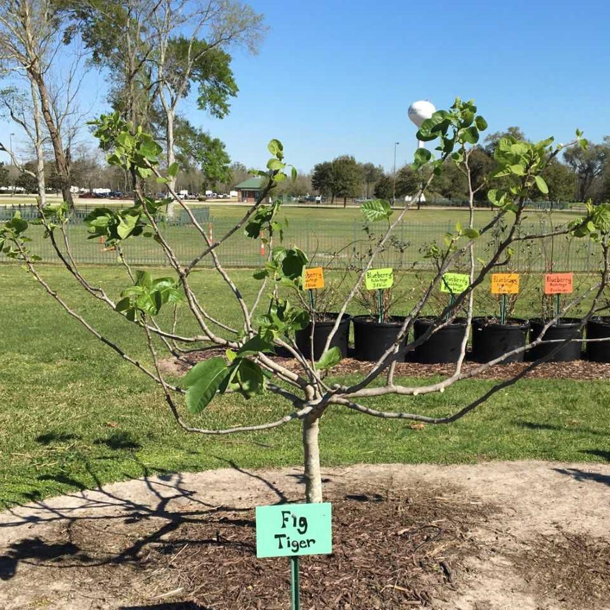 Digging In Prune Fig Trees Now For