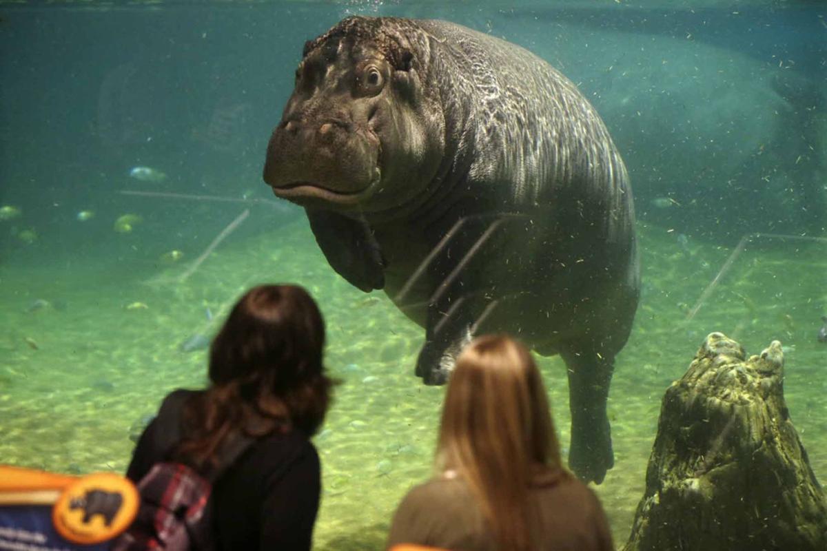 Louisiana's bizarre hippo history to be recounted in movie 'American Hippopotamus'
