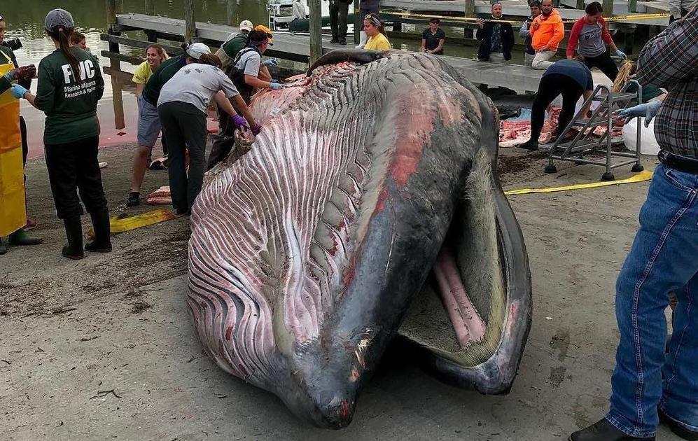 This is what killed one of the last members of a newly discovered whale species in the Gulf of Mexico  Medium
