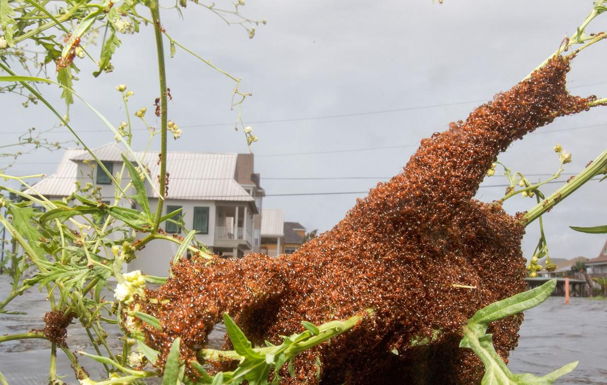 Fire ant swarm