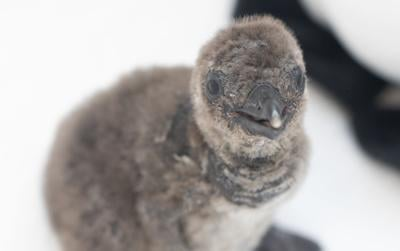 Zion the African penguin chick