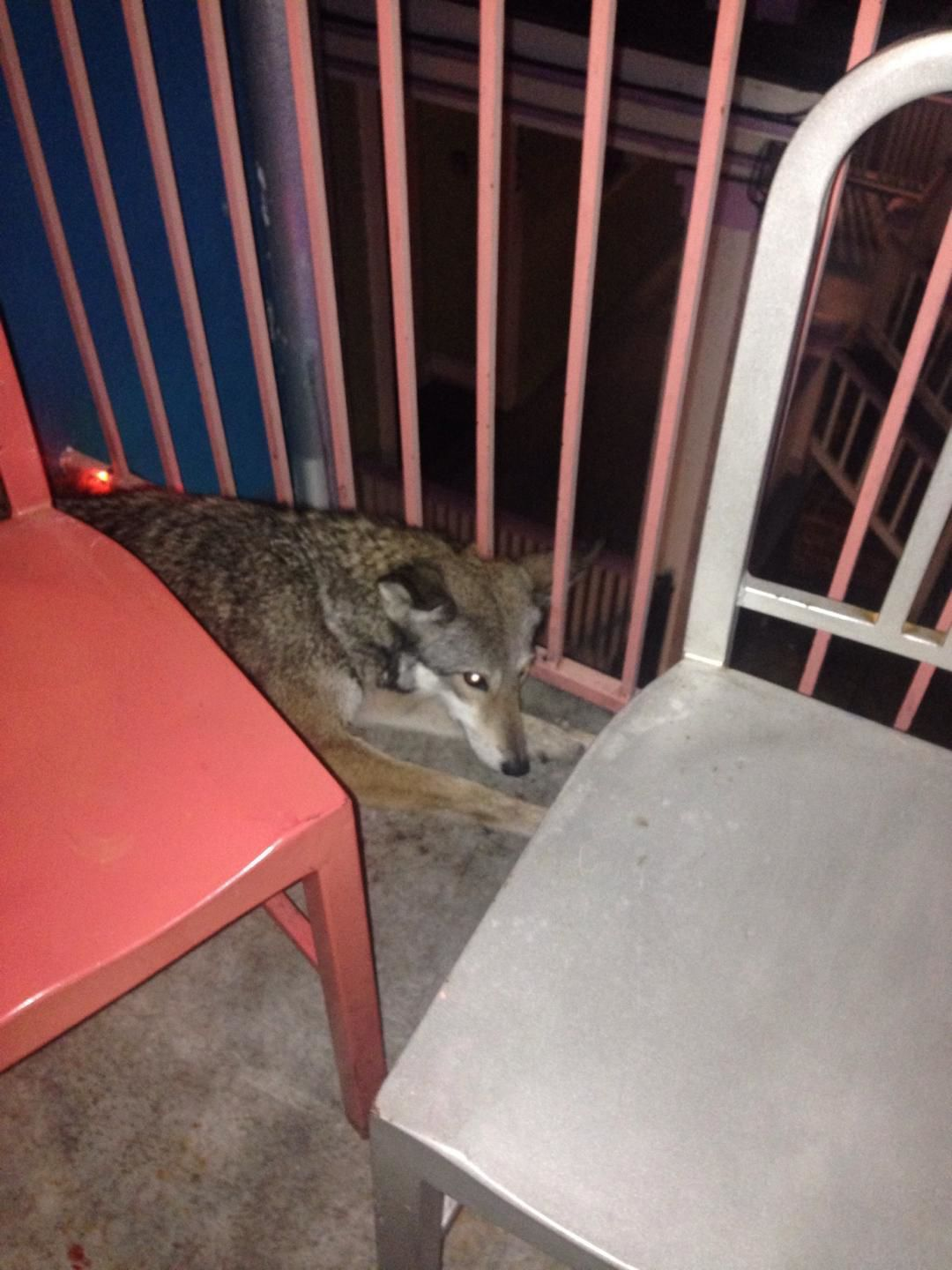 Dat Dog coyote 'humanely euthanized,' state wildlife department says