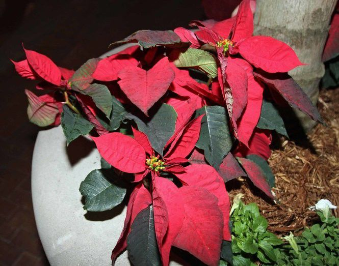 This week's gardening tips: last chance to cut back poinsettias before winter bloom