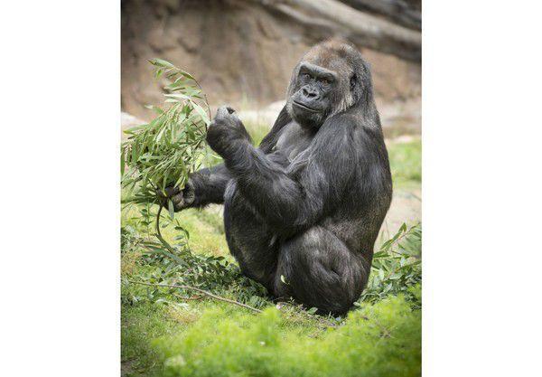 New Female Gorilla With Quirky Spirit Settles Into Audubon