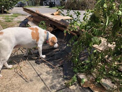 Pip sniffs Hurricane Ida debris