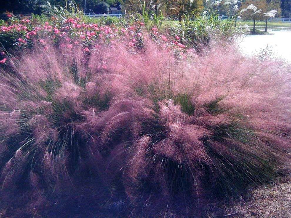 Graceful Ornamental Grasses Add Color Movement To Landscapes