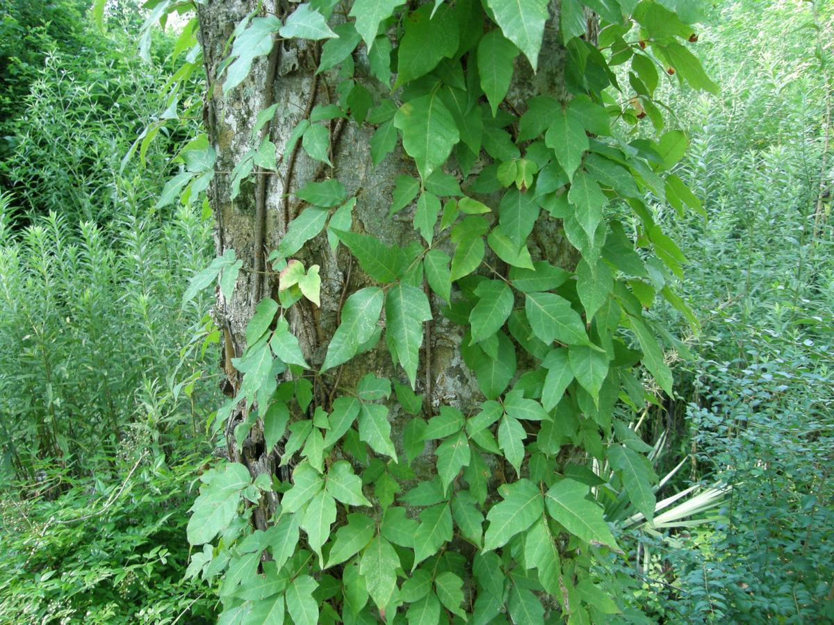 Poison Ivy How To Identify And Kill It Without Damaging